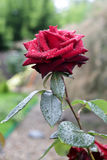 Red rose after rain. In the garden Stock Image