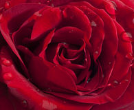 Red rose with raindrops Stock Images