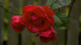 Raindrops on red roses. Closeup of blooming red rose covered with raindrops Stock Images