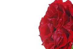Red Rose with Raindrops Royalty Free Stock Image