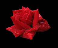 Red rose in raindrops isolated on black royalty free stock photography