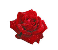 Red rose in raindrops isolated on white Royalty Free Stock Photos