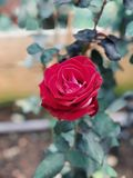 Red rose. In the garden Royalty Free Stock Photo