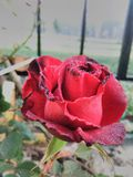 A red rose royalty free stock image