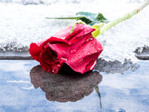 Red Rose Reflected in Melting Snow Stock Images