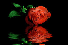 Red rose reflecting in water Stock Image