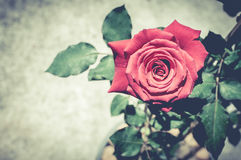 Red rose with retro filter effect Royalty Free Stock Images