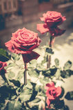 Red rose with retro filter effect Stock Photos