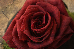 Red rose on retro grunge background Stock Photography