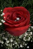 Red rose with ring. A closeup of a red rose with an engagement ring hidden in its petals Stock Images