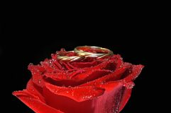 Red rose with rings Stock Image