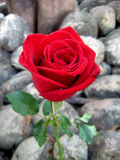 Red rose on the rock garden Royalty Free Stock Images