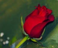 Green fonda nice red rose stock image