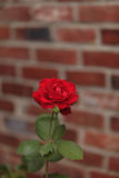 Red rose, Rosa, blooms Royalty Free Stock Images