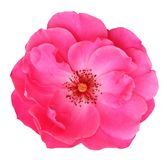 Red Rose Rosaceae isolated on white background, including clipping path. Germany Stock Images