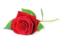 Red Rose Rosaceae isolated on white background, including clipping path without shade. Germany Royalty Free Stock Image