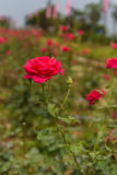 A red rose in the rose field. Photographed in Mianyang Royalty Free Stock Image