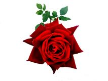 Red rose flower isolated on white background. Many uses for paintings,printing, book,covers,screen savers,web page,logo,mono, greeting cards,letter head etc royalty free stock photo