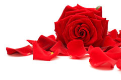 Red rose and rose petals on white Stock Image