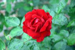 Red Rose Rosa Home Gardening Planting Stock Photo. Red Rose Rose Portrait Home Gardening Planting Stock Photo stock photos