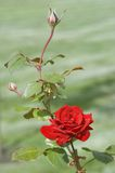 Red Rose With Rosebud. In The Garden Stock Photography
