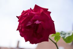 Red rose in rosengarden royalty free stock images