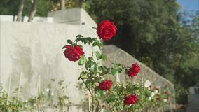 Red rose. Red roses grow stock video