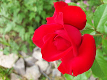 Red rose. S have always been and will always be the symbol of love Stock Image