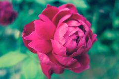 Red rose. S are the ultimate symbol of romantic love and enduring passion Royalty Free Stock Photography