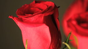 Red rose rotating close up stock video