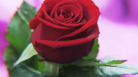 Red Rose Rotating on a Deep Purple Background stock footage