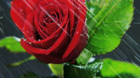 Red Rose Rotating in Heavy Rain stock footage