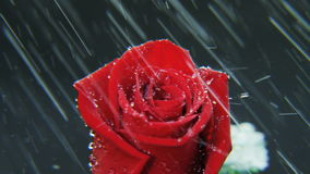 Red Rose Rotating in Heavy Rain stock video