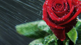 Red Rose Rotating in Heavy Rain stock video footage