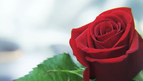 Red Rose Rotating on a Silvery Background stock video
