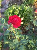 A red rose from rural East Texas. A fresh red rose from rural East Texas with several leafs on the back round royalty free stock photos