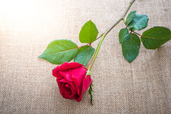 Red rose on sackcloth Royalty Free Stock Photography
