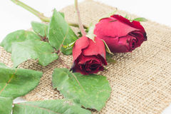Red rose on sackcloth white background. Royalty Free Stock Photo