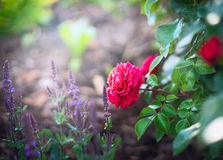 Red rose and sage flowers on sunny garden or park background Royalty Free Stock Image