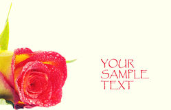Red rose with sample text Royalty Free Stock Photo