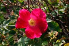 Red rose. Red Scharlachglut Shrub Rose Summer Flowering Royalty Free Stock Image