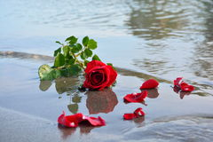 Red Rose on Sea. And red rose leaves royalty free stock images