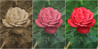 Red Rose in Sepia, Old and Modern Styles Stock Photos