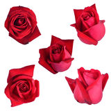 Red rose sets. Isolated on white background Royalty Free Stock Photos
