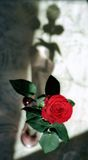 Red rose and shade Stock Photography
