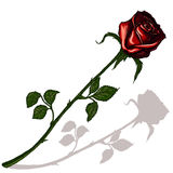 Red rose with shadow. On a blank background Stock Image