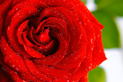Red rose. Shiny red rose with water drops Royalty Free Stock Photography