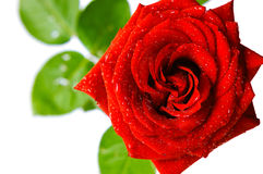 Red rose. Shiny red rose with water drops on white background Royalty Free Stock Photography