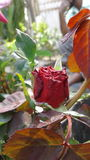 Red  rose. Sign of love in my lense Royalty Free Stock Photos