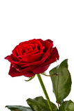 Red rose. signs of love Royalty Free Stock Image